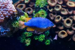 Pseudanthias för fiskAntias lyretail squamipinnis royaltyfria foton