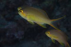 Pseudanthias hutchi Royalty Free Stock Photography
