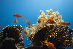 Pseudanthias squamipinnis - female Royalty Free Stock Images
