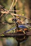 Pseudemys Нелсон черепахи Флориды redbelly садится на насест на lo кипариса Стоковая Фотография