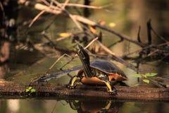 Pseudemys Нелсон черепахи Флориды redbelly садится на насест на lo кипариса Стоковое Изображение RF
