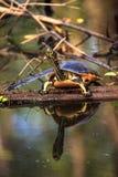 Pseudemys Нелсон черепахи Флориды redbelly садится на насест на lo кипариса Стоковое фото RF