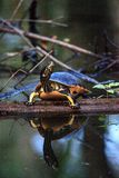 Pseudemys Нелсон черепахи Флориды redbelly садится на насест на lo кипариса Стоковые Фото