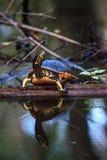 Pseudemys Нелсон черепахи Флориды redbelly садится на насест на lo кипариса Стоковые Изображения RF