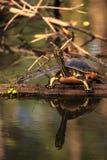 Pseudemys Нелсон черепахи Флориды redbelly садится на насест на lo кипариса Стоковые Изображения