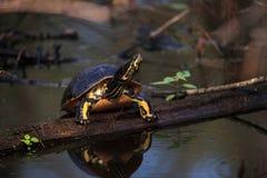 Pseudemys Нелсон черепахи Флориды redbelly садится на насест на lo кипариса Стоковое Фото