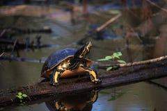 Pseudemys Нелсон черепахи Флориды redbelly садится на насест на lo кипариса Стоковое Изображение