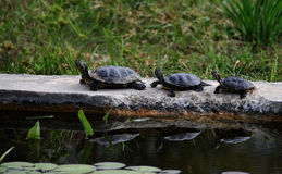 Pseudemys concinna. Group of aquatic turtles warming on the sun Stock Photography
