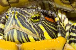 Pseudemys scripta elegans. Head and face of a turtle - Pseudemys scripta elegans - close up Stock Images