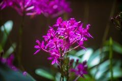 Pseuderanthemum Royaltyfri Fotografi