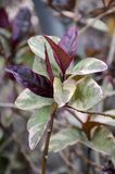 Pseuderanthemum atropurpureum plants Stock Images