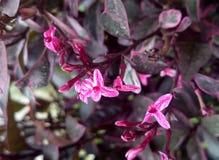 Pseuderanthemum-atropurpureum, purpurrotes falsches Eranthemum Lizenzfreie Stockbilder