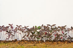 Pseuderanthemum kewense Anlagen in einem Garten Stockfoto