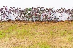Pseuderanthemum kewense Anlagen in einem Garten Lizenzfreies Stockbild