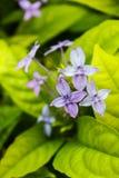 Pseuderanthemum laxiflorum, Mknąca gwiazda, Gwiazdowy kwiat Zdjęcia Royalty Free