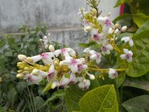 Pseuderanthemum reticulatum花 免版税库存图片