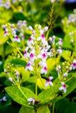 Pseuderanthemum Reticulatum immagini stock