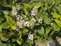 Pseuderanthemum reticulatumblomma Fotografering för Bildbyråer