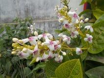 Pseuderanthemum reticulatumblomma Royaltyfri Bild