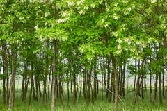 Pseudo acacia black locust trees Royalty Free Stock Photography