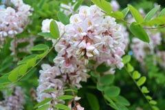Pseudo-acacia del Robinia Imagenes de archivo