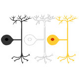 Pseudo-unipolar neuron, nerve cells neurons Royalty Free Stock Images