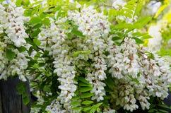 Pseudoacacia de florescência do Robinia fotografia de stock