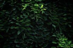 Pseudoacacia Linn лист-Robinia раннего лета стоковая фотография