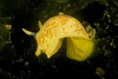 Pseudoargus di Archidoris - baia di Brest, Britanny, Fotografie Stock Libere da Diritti