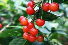 Pseudocerasus del Prunus Fotografía de archivo libre de regalías