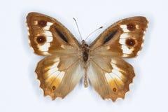 Pseudochazara amaltheafjäril på vit Royaltyfria Foton