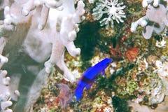 pseudochromis орхидеи fridmani dottyback стоковые фото