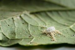 Pseudococcidae e Aphidoidea na folha do quiabo foto de stock royalty free