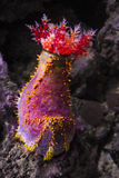 Pseudocolochirus Paracucumaria tricolor tricolor Foto de archivo