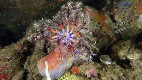 Pseudocolochirus violaceus or Red Sea Apple Stock Image