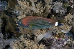 Pseudodax moluccanus Immagine Stock
