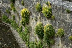 Pseudofumaria lutea syn. Corydalis lutea Royalty Free Stock Photos