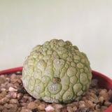 Pseudolithos migiurtinus Kaktus på den plast- krukan Tolerant växt för torka royaltyfria foton