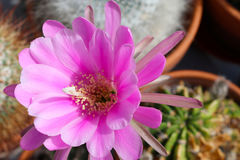 Pseudolobivia obrepanda echniopsis cactus Royalty Free Stock Image