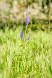 Pseudolysimachion Longifolium Veronica Longifolia Stock Images