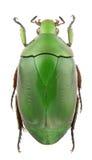 Pseudomacraspis affinis Stock Photos