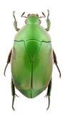Pseudomacraspis affinis Royalty Free Stock Photography