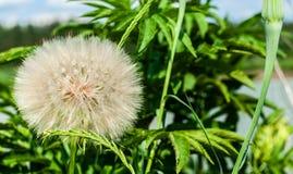 Pseudomajor S del Tragopogon Nikit Cabeza del diente de león con las semillas en fondo del lago y de las plantas verdes con place foto de archivo