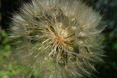 Pseudomajor Tragopogon Стоковое Изображение RF