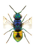 Pseudomalus auratus royalty free stock photography