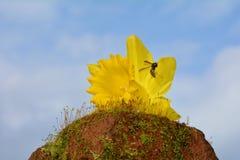 Pseudonarcissus amarillo del narciso del narciso con la avispa en musgo Imagenes de archivo