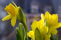 Pseudonarcissus Narcissus в цветени, желтых daffodils Стоковые Фотографии RF