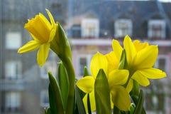 Pseudonarcissus Narcissus в цветени, желтых daffodils Стоковые Изображения