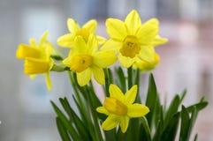 Pseudonarcissus Narcissus в цветени, желтых daffodils Стоковые Фото
