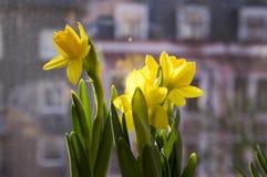 Pseudonarcissus Narcissus в цветени, желтых daffodils Стоковая Фотография RF